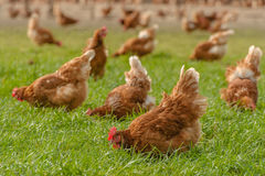 Poultry - Brown Layer hens (free range). Close up of free range brown layer hens scrabbeling in grass Stock Photo