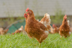 Poultry - Brown Layer hens (free range) Royalty Free Stock Image