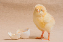 Poultry - One Day Old Chicken (Layer) Stock Photos