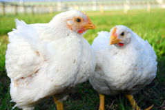 Poultry pair Stock Image