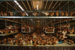 Poultry Pictured. Interior of a alternative housing system called nivo-varia for rearing free range layer poultry to stimulate natural behavior and better animal Royalty Free Stock Photo