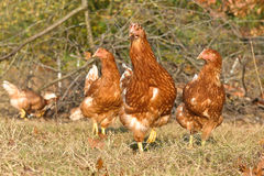 Poultry Pictured - Brown Layer pullets Royalty Free Stock Images