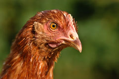 Poultry Pictured Royalty Free Stock Image