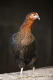 Poultry Pictured Stock Images
