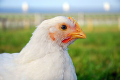 Poultry Portrait Royalty Free Stock Photo