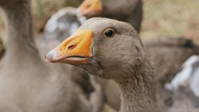 Poultry - portrait of a goose on a farm. Domestic geese on a farm. Closeup of a head of a gray goose on a background of flocks of geese. Slow motion video stock footage