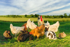 Poultry and rabbits eating together. A shot of domestic poultry and rabbits eating grass together with wheat field in the background and blue cloudy sky Stock Image