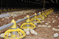 Poultry rearing farm Stock Photo