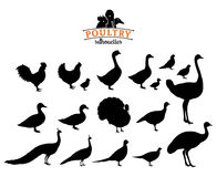 Poultry Silhouettes Isolated on White. Poultry collection. Lots of poultry isolated on white for your work Royalty Free Stock Image