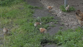 Poultry for a walk stock footage