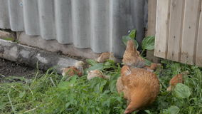 Poultry for a walk stock video footage