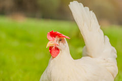 Poultry - White Layer (Free Range) Royalty Free Stock Photo