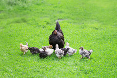 Poultry yard Royalty Free Stock Photography