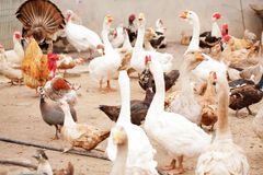 Poultry yard, geese, chickens, ducks, turkeys Stock Photo