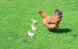 Poultry yard Stock Photography