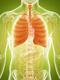 Poumon humain Images stock