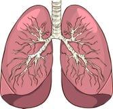 poumons Photographie stock libre de droits