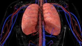 poumons Image libre de droits