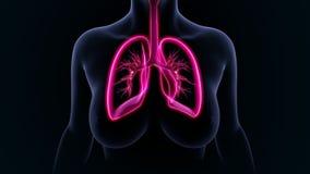 poumons Photo libre de droits