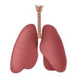 poumons Photos libres de droits