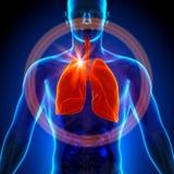 Poumons - anatomie masculine des organes humains - vue de rayon X Photos libres de droits