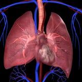 Poumons avec le coeur illustration libre de droits