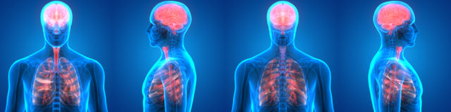 Poumons et Brain Anatomy d'organes humains Photographie stock