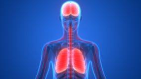 Poumons et cerveau d'organes humains avec l'anatomie de système nerveux illustration de vecteur
