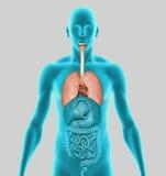 Poumons humains Photos libres de droits