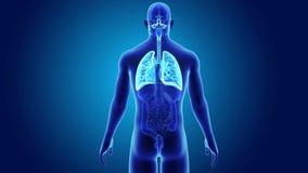 Poumons humains avec des organes illustration stock