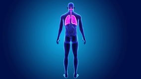Poumons humains avec des organes illustration libre de droits