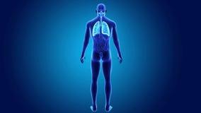 Poumons humains avec des organes illustration de vecteur