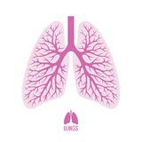 Poumons humains avec l'arbre bronchique Images libres de droits