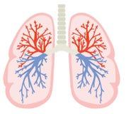 Poumons humains Une partie de modèle de corps humain d'anatomie avec le système d'organe Illustration colorée de vecteur dans le  photos stock