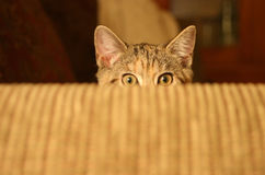 Pounce. A Cat about to Pounce royalty free stock images