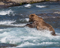 The pounce. A bear fishing for salmon at McNeil River Falls in Alaska Stock Photography
