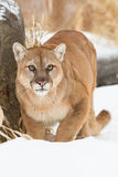 The pounce. Mountain lion preparing to pounce Royalty Free Stock Photography