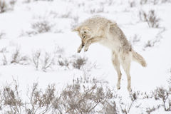 Pouncing Coyote. A coyote pounces on a gopher hidden beneath the snow Royalty Free Stock Images