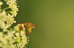 Pouncing fly (Tachina fera) Royalty Free Stock Image