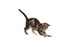 Pouncing Kitten. A pouncing kitten isolated on white Stock Image