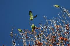 Pouncing papegoja Royaltyfria Foton