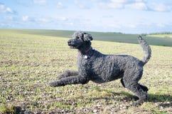 Pouncing Poodle against outdoor landscape Stock Photography