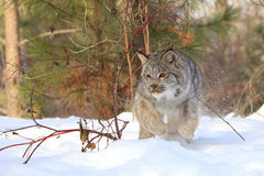 Pouncing on prey. A bobcat in full run towards prey Stock Photos
