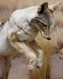 Pouncing wild coyote Royalty Free Stock Photo