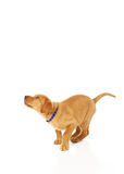 Pouncing Yellow Labrador Puppy. Portrait of a yellow lab puppy on white background preparing to pounce and jump Stock Photo
