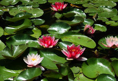 Pound full of water lily Royalty Free Stock Image