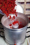 Pour currants in the juice extractor. Pour ripe red, washed currants in the steam juicer to make currant syrup Stock Images