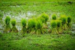 Pour les jeunes plantes de riz Photo stock