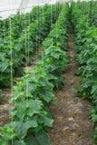 Pour se développer les concombres en serre chaude nettoient ambiant l'ami Images stock