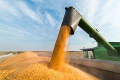 Pouring corn grain into tractor trailer Stock Photos